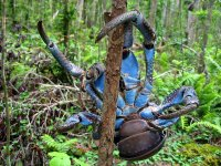 Coconut_Crab_3.jpg